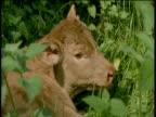 Head of calf amongst nettles, Devon