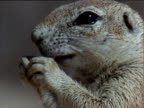 Head of ground squirrel nibbling on nut held in paws then turns abruptly to look at camera