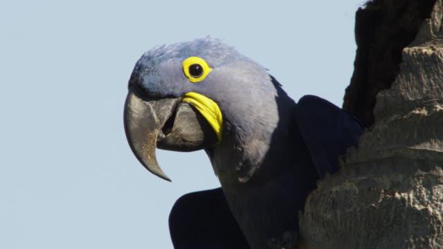 Head of hyacinth macaw (Anodorhynchus hyacinthinus) at top of tree.