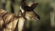 Head of kudu looks around chewing in woodland.