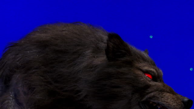 MS Head of large dark colored wolf growling, eyes are red