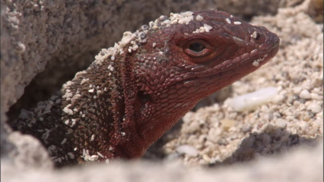 Head of Lava lizard comes out of burrow, Espanola, Galapagos Islands Available in HD.