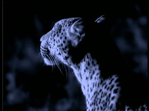 Head of leopard sniffs air at night, South Luangwa National Park, Zambia