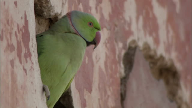 Head of Parakeet in nest hole in Tomb of Akbar the Great Available in HD.