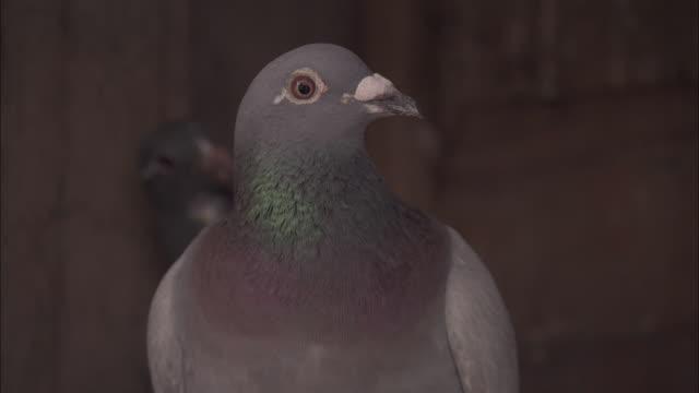 Head of pigeon looks around in pigeon loft, Beijing.