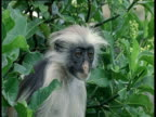Head of Red Colobus as it calls
