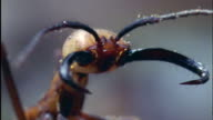 Head of soldier army ant with huge jaws Available in HD.