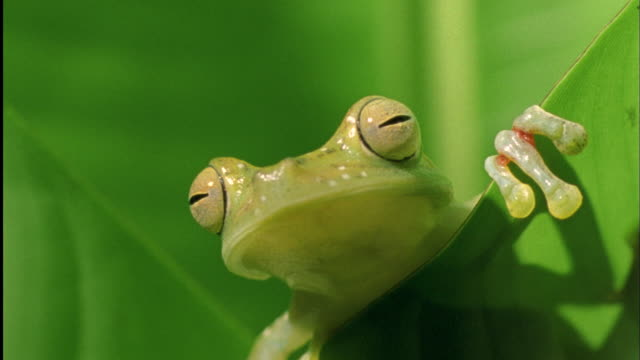Head of Tree frog in Heliconia leaf Available in HD.
