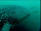 Head of whale shark, shoal of fish swim in background, Phuket