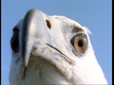 ECU head of White-bellied Sea Eagle during flight, to camera, Malaysia