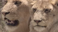 Heads of lions looking around. Available in HD.