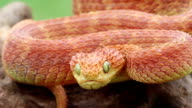 Heartbeat of a Red Bushviper Snake