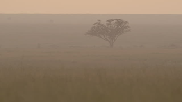 A heat haze distorts a view of a silhouetted acacia tree on the Serengeti at dawn, Tanzania.