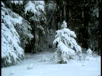 Heavy snow falls on small snow covered fir tree in northern pine forest, Canada