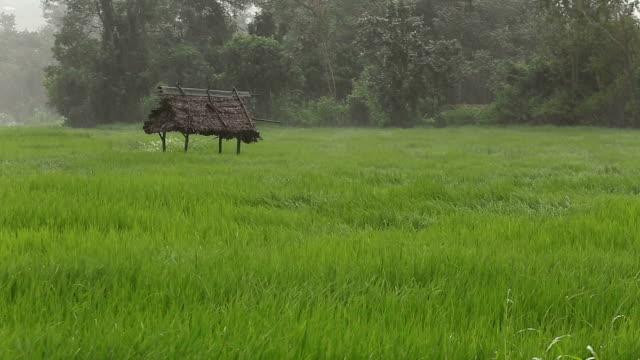 Heavy storm and rain move across rice paddy.