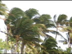 Heavy winds in Palm trees.