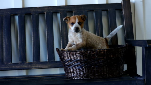 Heeler puppy in basket