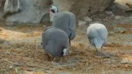 Helmeted Guinea fowl (Numida meleagris) feeding on ground.