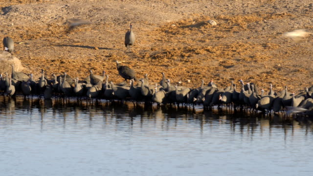 Helmeted guineafowl (Numida meleagris) - a large flock drinking water at Atosha national park