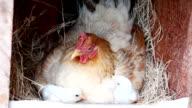Hen und little chick