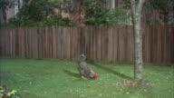 MS Hen in grounds
