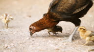 Hens are brought chick ferret food.