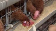 CU Hens pecking feed from trough outside  / Anseong, Gyeonggi-do, South Korea