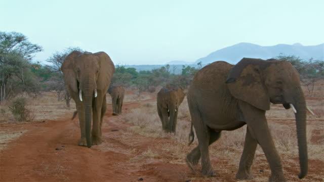 Herd African Forest Elephants Walking In Rain Samburu  Kenya  Africa
