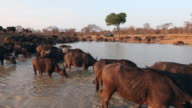 LS herd of African Buffalo at watering hole, South Africa.