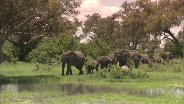 XWS Herd of African Bush Elephant adults many young calves grazing gathering near large pond water on grassy plain of Okavango Delta trees BG...