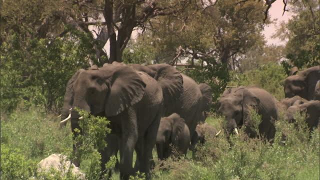 WS Herd of African Bush Elephant adults many young calves walking toward frame on grassy plain of Okavango Delta grazing trees BG Wildlife tusk...