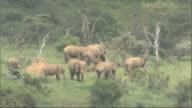 Herd of African Bush Elephants (Loxodonta africana) in wooded landscape, Kenya, Africa