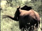 MS, COMPOSITE, Herd of African Elephant (Loxodonta africana) walking through savanna, Tsavo National Park, Kenya