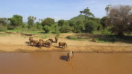 Herd of african elephants after crossing a river, last one getting on shore