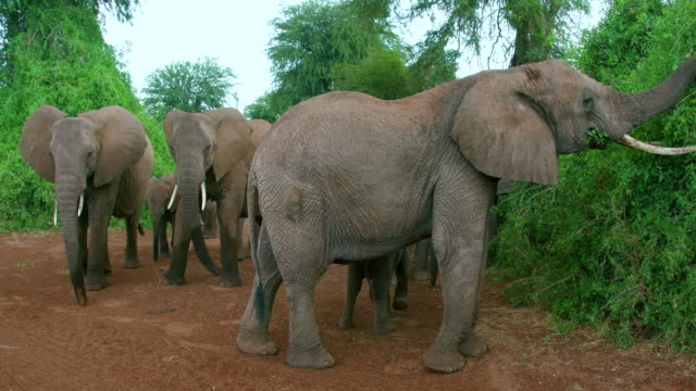 Herd Of African Forest Elephants Walking & Feeding Samburu  Kenya  Africa