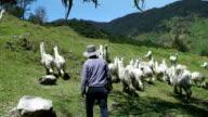 Herd of alpacas with shepherd in Pilisurco, Ecuador