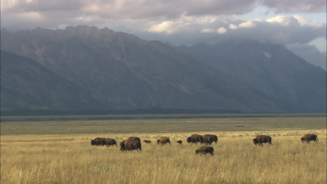 WS Herd of American Bison (Bison bison) crossing prairie with Teton Mountains in background / Grand Teton National Park, Wyoming, USA
