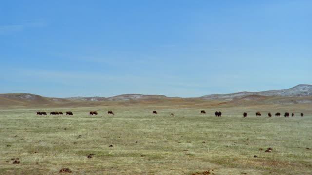 Herd of American bison grazing in field at Custer State Park / Custer, South Dakota