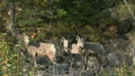 MS Herd of Bighorn sheep (Ovis canadensis) on rocky hillside, Waterton Lakes National Park, Alberta, Canada