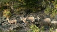 ZO WS Herd of Bighorn sheep (Ovis canadensis) on rocky hillside, Waterton Lakes National Park, Alberta, Canada