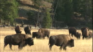 A herd of bison graze on a grassy plain.