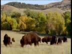 Herd of bison graze, South Dakota