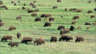 Herd of bison (Bison bison) grazes on prairie, Yellowstone, USA