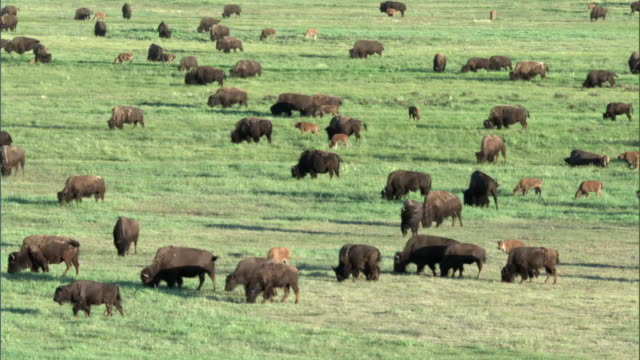 Herd of bison (Bison bison) grazes on prairie, Yellowstone, USA