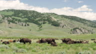Herd of bison in Lamar valley in Yellowstone National Park
