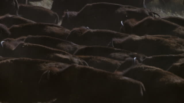 MS Herd of bison walking on landscape / Custer State Park, South Dakota, United States