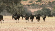 MS Herd of Blue Wildebeest (Connochaetes taurinus) crossing field in hot day, Kgalagadi Transfrontier Park, Northern Cape, South Africa