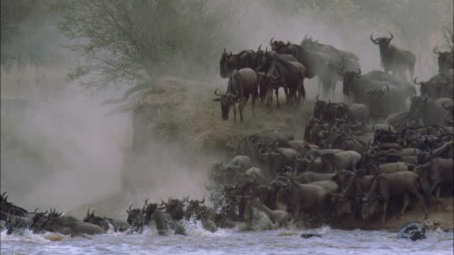 MS, herd of Blue Wildebeest (Connochaetes taurinus) crossing river, Serengeti National Park, Tanzania