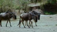 Herd Of Blue Wildebeest Walking Maasai Mara  Kenya  Africa