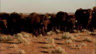 MS PAN Herd of brown cows grazing in desert landscape, Anna Creek, South Australia, Australia